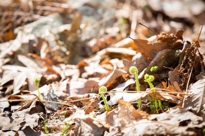 TLAW- Spring Fiddlehead Ferns- AKP