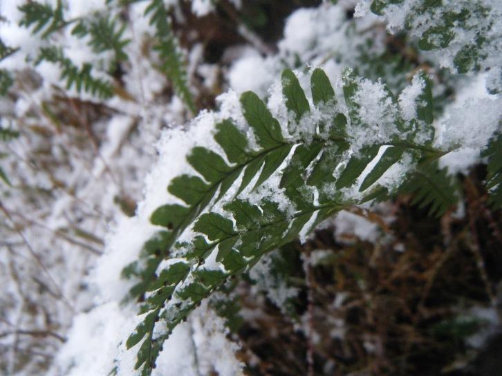 heather - fern in snow